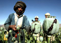 Rise in Afghan poppy farming fuelled by high opium prices