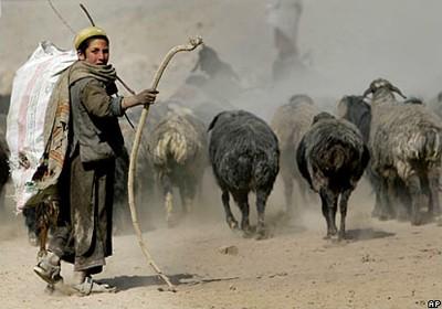 Afghan Shepherd