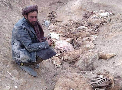 Farmer and dead cattle in Badghis province, Afghanistan