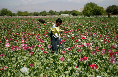 An Afghan man works on a poppy field in Jalalabad province