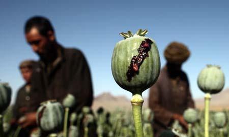 Men harvest poppy in Farah