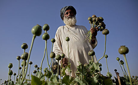 An Afghan farmer cuts poppy bulbs near Kandahar