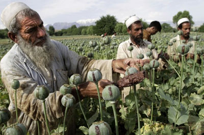 In this May 10, 2013 file photo, Afghan farmers collect raw opium as they work in a poppy field in Khogyani district of Jalalabad