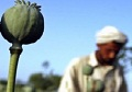 In Reversal, Poppy Production Expanding in Afghanistan, U.N. Says