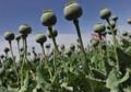 UN: Afghanistan is Top Opium Producer, User