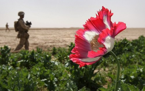 A U.S. Marine patrols past an opium poppy field