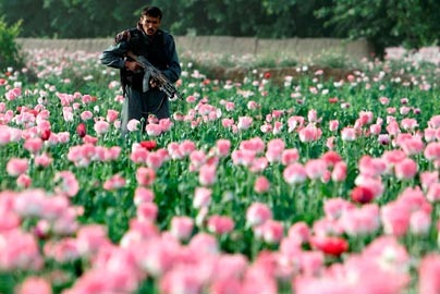 An Afghan Special Forces policeman walks through an opium poppy field as he searches for Taliban fighters