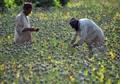 Afghanistan opium production set to rise 61%: UN
