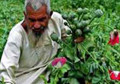 Afghanistan Stands as a World Leader in Opium