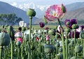 Afghanistan world's largest opium producer