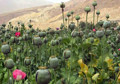 Feature: Drug producer Afghanistan experiencing tragedy of drug problems