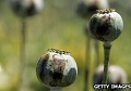 Opium production soars in Afghanistan: UN