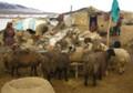 6 shepherds, 1,500 sheep perish in snowstorms