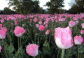 Afghanistan: Unchecked Opium Production in Uruzgan