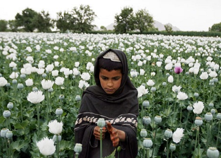 An Afghan boy works in an opium poppy field Saturday in Musa Qala in Helmand province